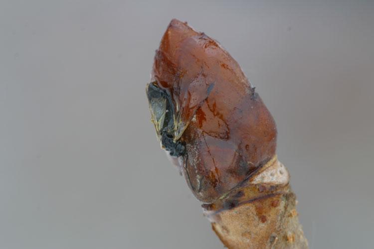 トチノキ  (栃の木)