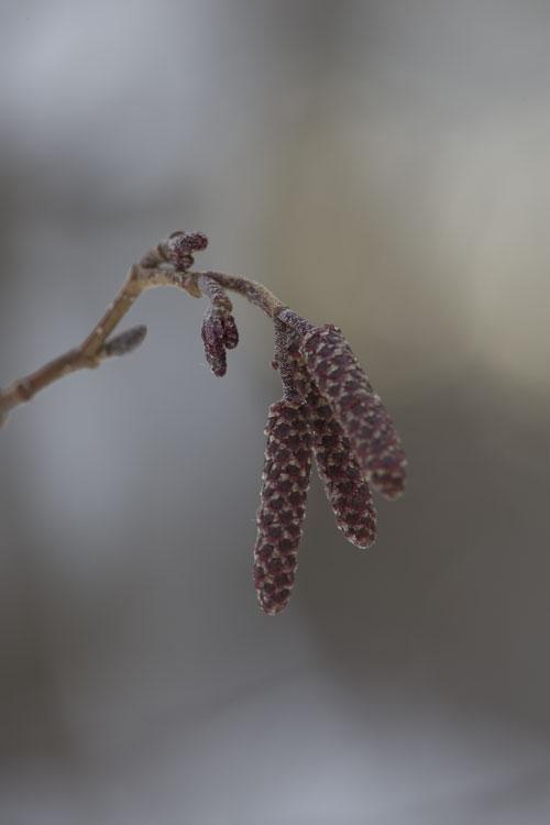 ヤマハンノキ (山榛の木)