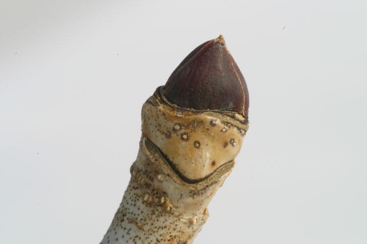 コシアブラ (漉し油)