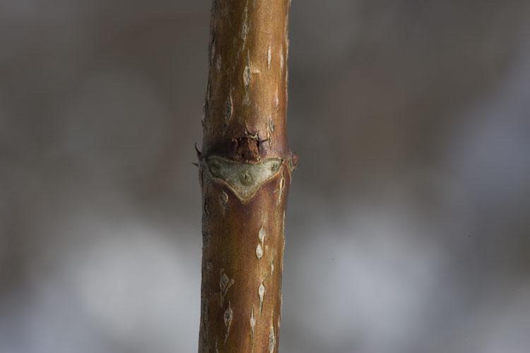 ノリウツギ (糊空木)