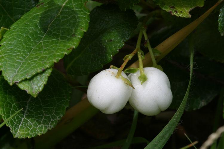シラタマノキ (白玉の木)