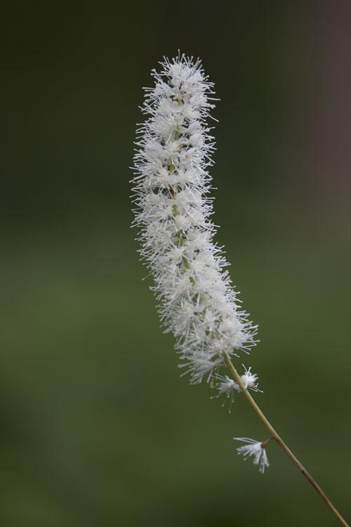 サラシナショウマ  (晒菜升麻)
