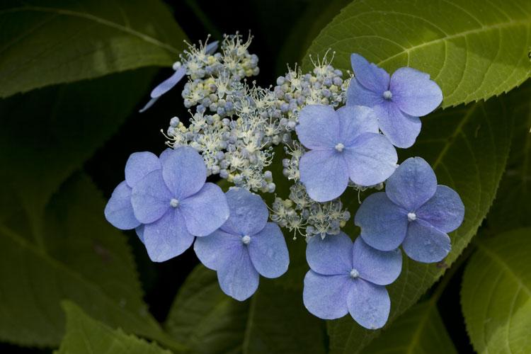 エゾアジサイ (蝦夷紫陽花)