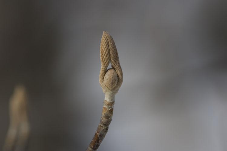 オオカメノキ  (大亀の木)