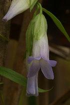 ホソバノツルリンドウ (細葉の蔓竜胆)