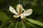 ホオノキ (朴の木)